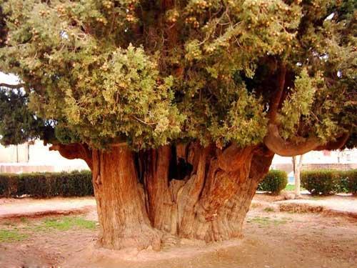 کهنسال ترین درختی که پسر نوح در یزد کاشته است + عکس