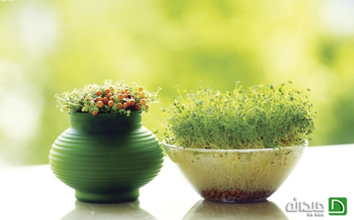 ایده جذاب سبزه عید در سفره هفت سین ۹۵