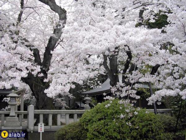 عکس دیدنی از شکوفه های بهاری 95